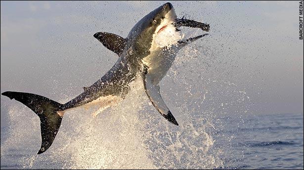 barcroft_shark02